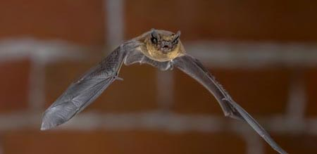 Flying Bat - wildlife
