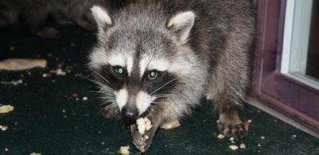 Raccoon - wildlife